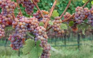 Гевюрцтраминер: благородное вино с устрашающим названием